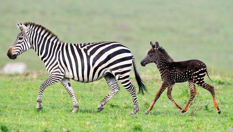 ruyada-zebra-gormek-ne-anlama-gelir