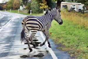 rüyada-zebra