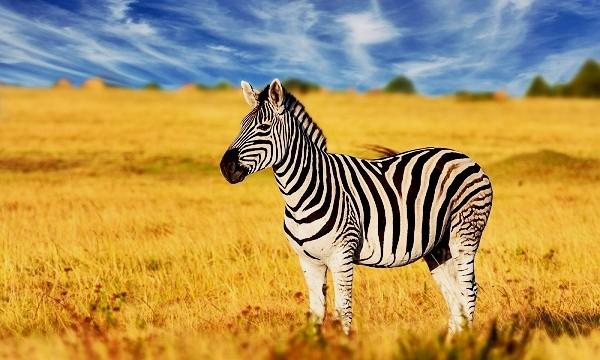 rüyada-zebra-görmek